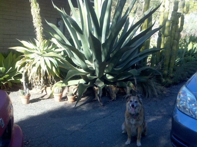 Here's Chico at the base of that big flower stalk.