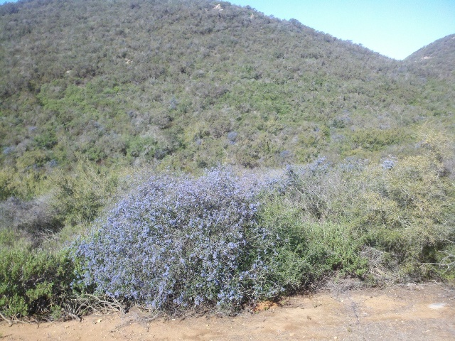 Ceanothus in bloom.
