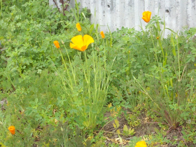California poppies in downtown Santa Cruz.