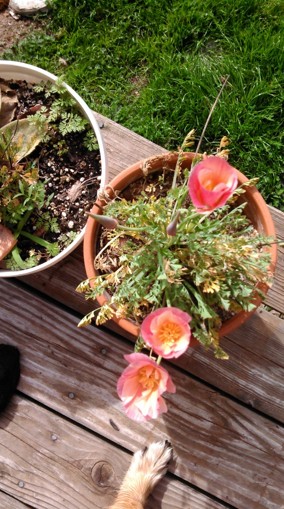 And some of Ma's beautiful and very special California poppies.