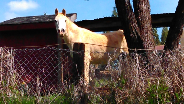 This white horse had rolled in the red dirt until it was stained.