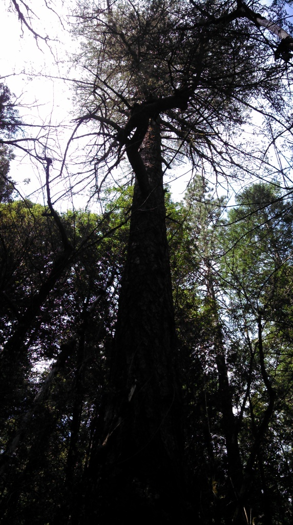 This is one old and very tall tree.