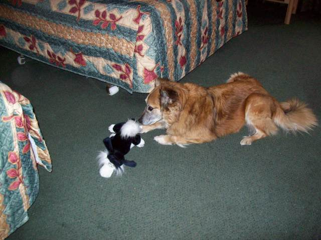 And, for your viewing pleasure, here's Chico getting to know the toy now named Stuffie.