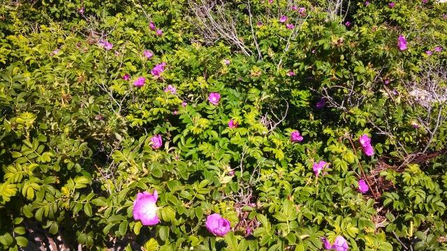 Beach roses.