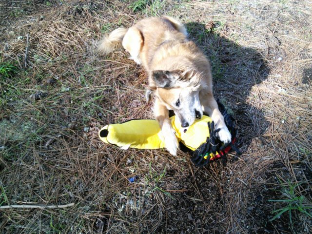 Here's Chico and the garage sale rasta banana back in Santa Cruz, because it's hard to be the trainer AND take pictures.