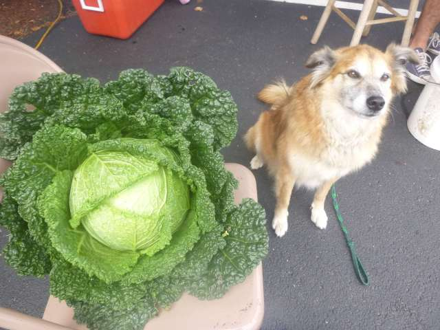 Is that a lovely cabbage or what?