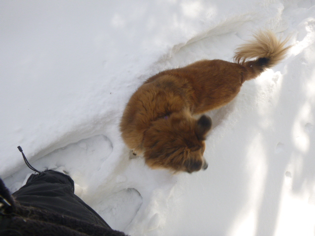 The snow is deeper than Chico's chest in many places, so for going any distance, he wants to follow as I break trail.